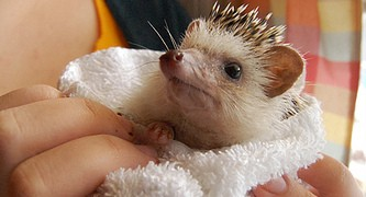 hedgehog_after_a_bath
